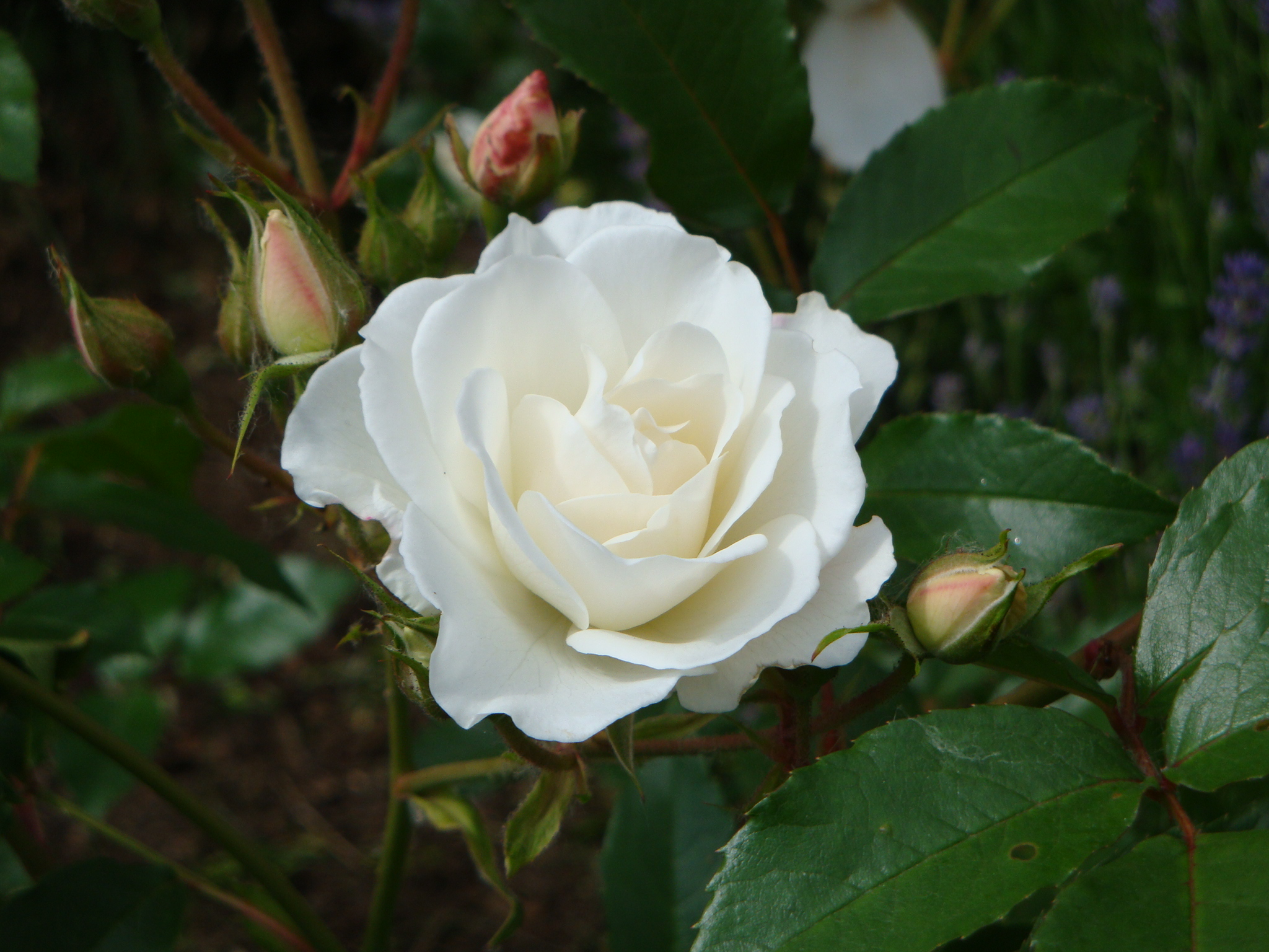 Rosa 'Schneeuwittchen'